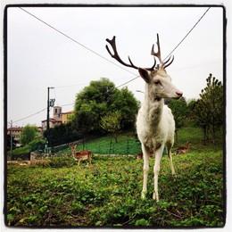 Click, un daino bianco da favola  «catturato» in Val Rossera