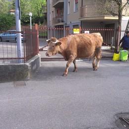 Incontri curiosi per Clusone  Una mucca a spasso per il paese