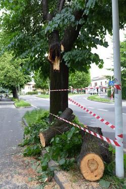 L'albero incriminato a Treviglio