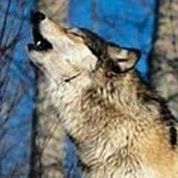 Sulle orme del lupo cattivo  Una ricerca firmata dal «Caffi»