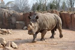 Il rinoceronte Freddy: da Bergamo a Torino