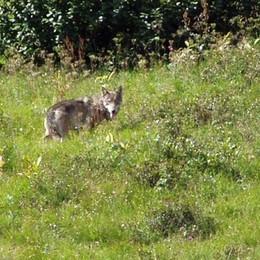 Dopo la lince e l'orso, ora il lupo  Ricerche in corso in Val di Scalve