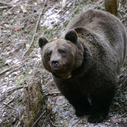 M7, ultimo avvistamento nel 2013  Ora sulle Orobie nemmeno un orso