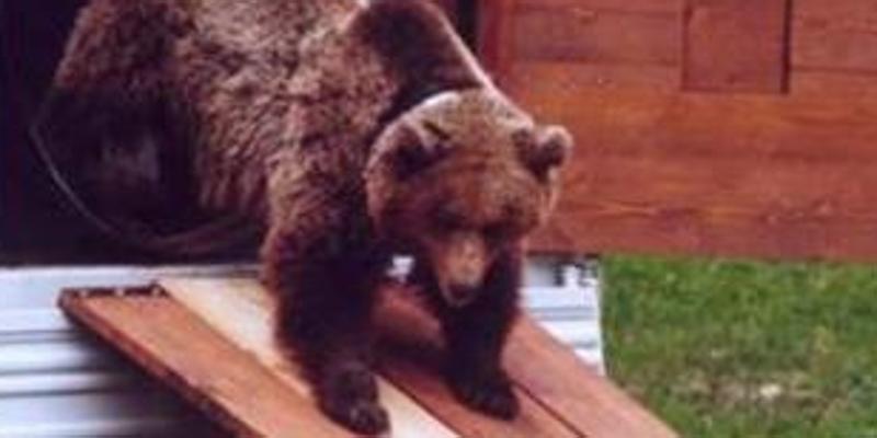 2ad1d05324 Uomo aggredito da un orso Disposta la cattura, ma i cuccioli? - Costume e  Società Trento