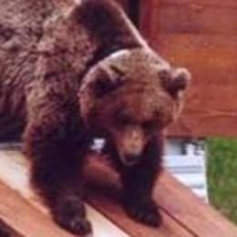 Uomo aggredito da un orso  Disposta la cattura, ma i cuccioli?
