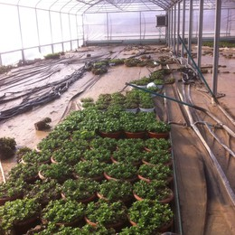 Serre di fiori distrutte in provincia  A Casazza annegati 9 mila pulcinotti