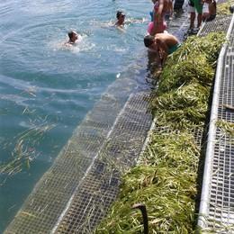Alghe invadono il lido a Sarnico  Colpa del calo repentino del livello