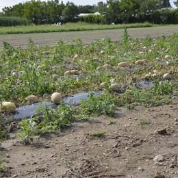 Troppa acqua, coltivazioni perse  Allarme Coldiretti, a rischio il vino
