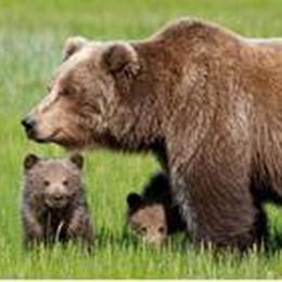Sulle tracce del re delle montagne  Il Parco delle Orobie tutela l'orso