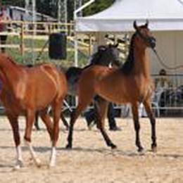 Ecco i    cavalli purosangue arabi  C'è lo show sabato alla Fiera