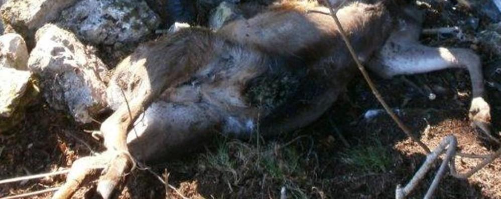 Trofeo con un cervo decapitato La Lav: ignoranza e inutile crudeltà