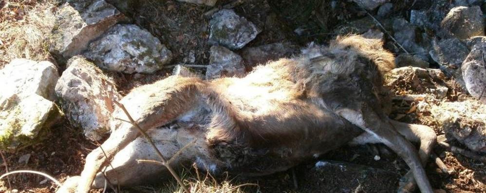 Valle Imagna, uccidono cervo da 150 chili per farne un trofeo