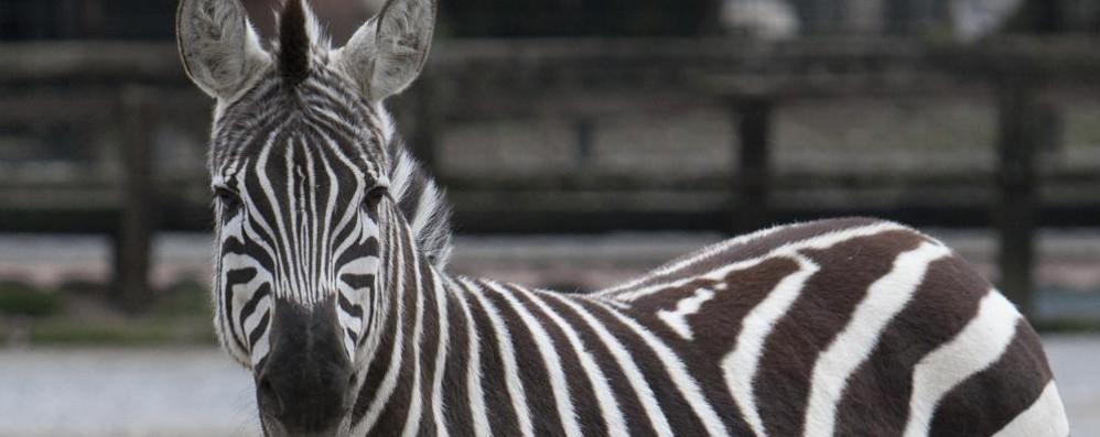 Addestratrice addentata a un dito Il colpevole? Una zebra... golosa