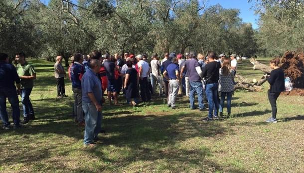 Xylella: proteste, bloccati tagli ulivi