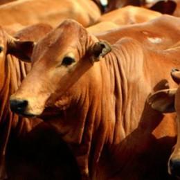 Con le mucche nei supermercati La protesta arriva nei centri commerciali