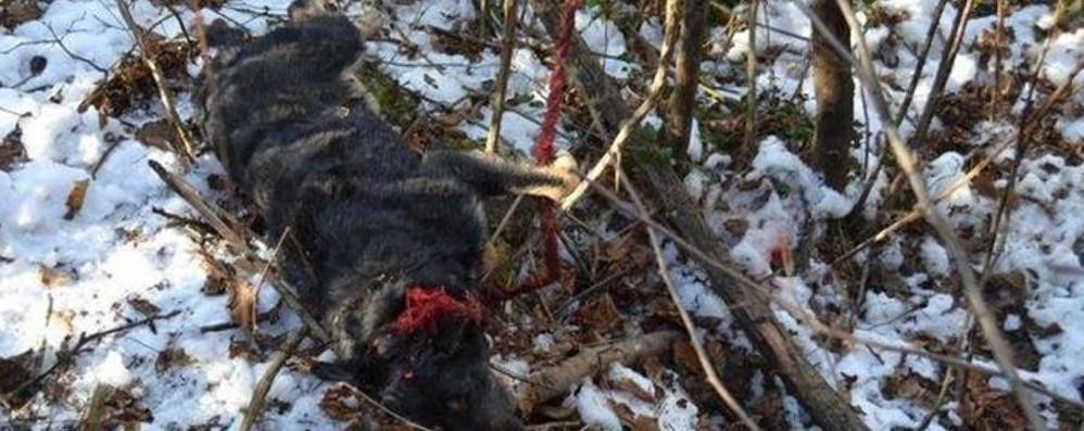 Cane ucciso a martellate Assolto l'unico indagato