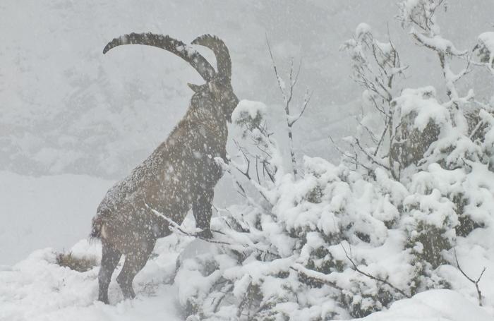 Alcuni esemplari di stambecchi sotto la fitta nevicata a Maslana di Valbondione