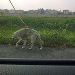 Incidenti stradali con cani randagi La Cassazione: Comuni risarciscano