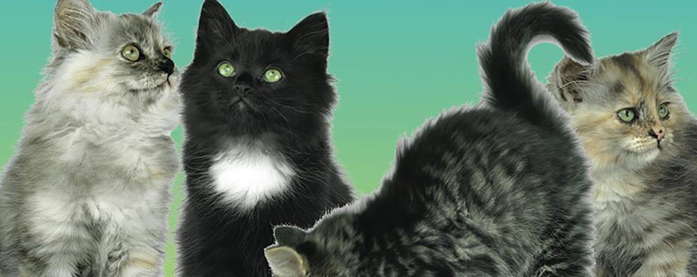 A Zanica  sfilata con le fusa In passerella i gatti più belli