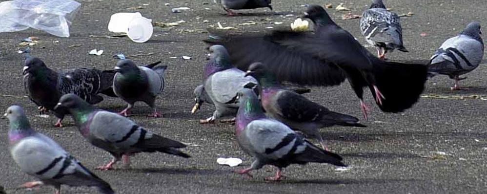 Anche in valle «guerra» ai piccioni S. Giovanni Bianco: multe fino a 500 €