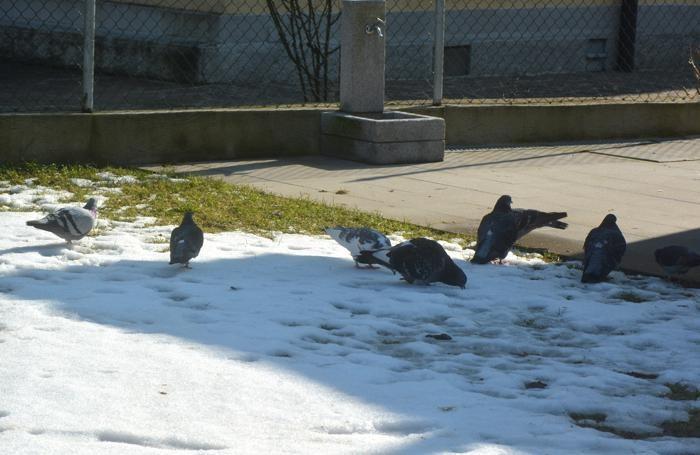 In via S.Antonio ci sono troppi piccioni