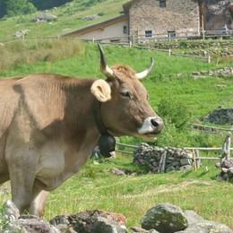 Montagna, passa anche dal web il rilancio della mucca Bruna alpina