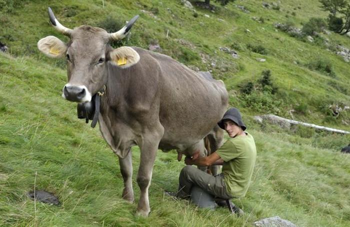 Mungitura a mano di una Bruna alpina originale in Val d'Inferno, a Ornica