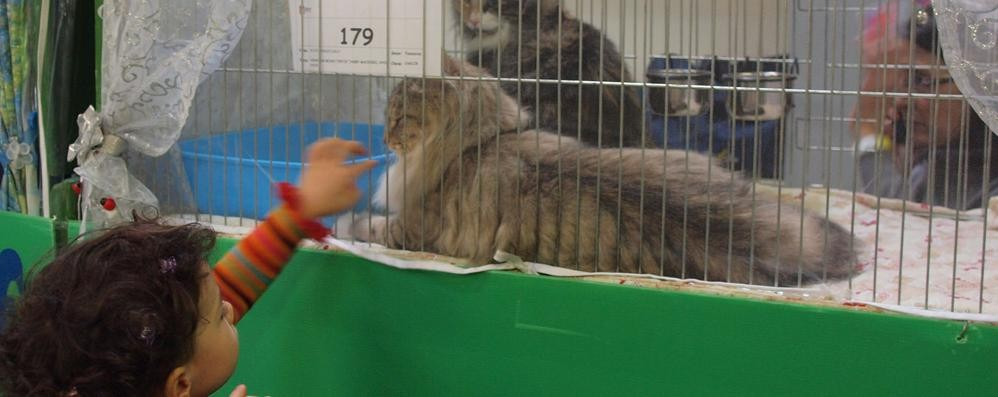 A Zanica sfilano i gatti  più belli del mondo