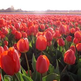 Dopo le devastazioni degli ultras scoppia la guerra dei tulipani