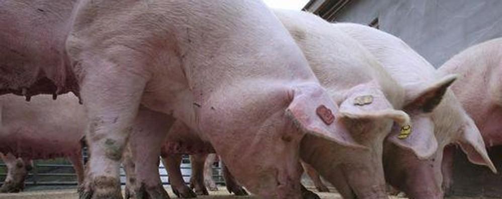 Zootecnia da latte e suinicoltura: peggiora la crisi per l'agricoltura Bg