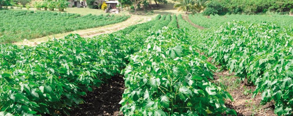 Albini va alle Barbados per il cotone È uno dei più pregiati al mondo