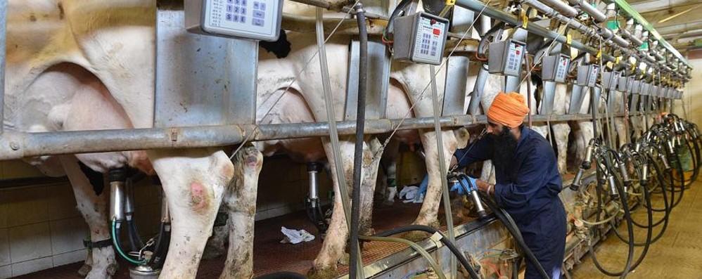 Prezzo del latte, settore a rischio La solidarietà corre sul Carroccio