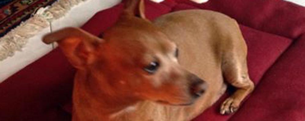 Cagnolino ucciso da un pitbull Caccia al proprietario, l'appello su Fb