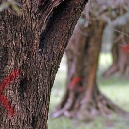 Xylella fastidiosa: in Lombardia non c'è Salve anche le coltivazioni del Sebino