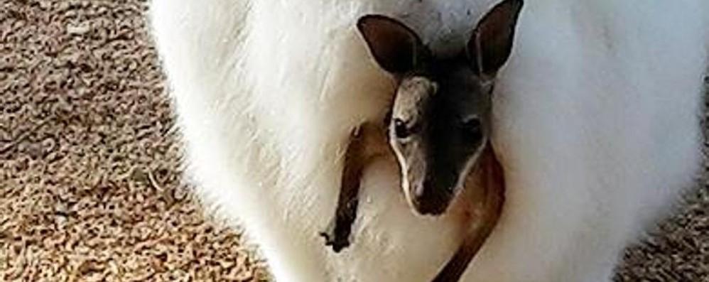 Le Cornelle: benvenuto al cangurino Concorso online per scegliere il nome