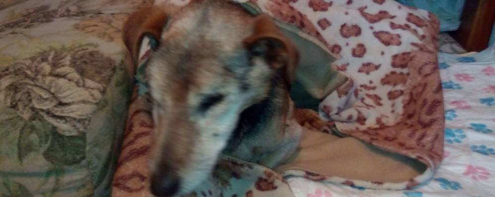 Pepe, bergamasco di 21 anni Il decano dei cani è di Almè