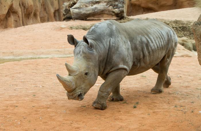 Il rinoceronte bianco alle Cornelle