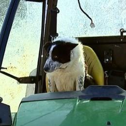 Cane guida un trattore in Scozia e per poco non causa incidenti - Video