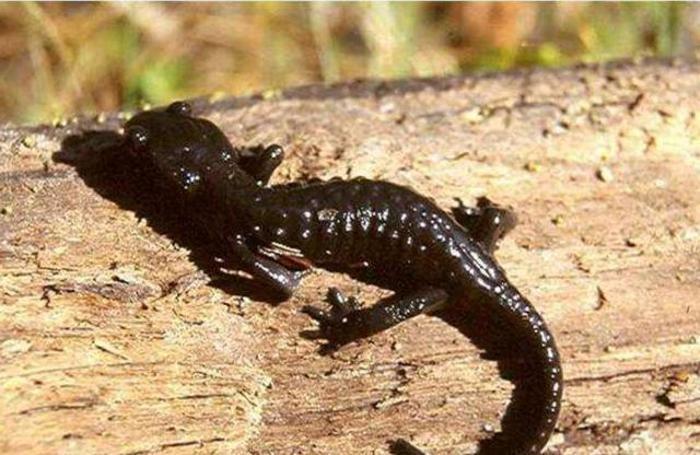 Una salamandra nera