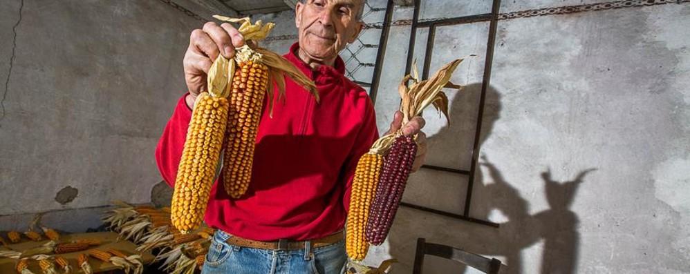 Habemus il mais brembano?  Si studia quello coltivato a Lenna
