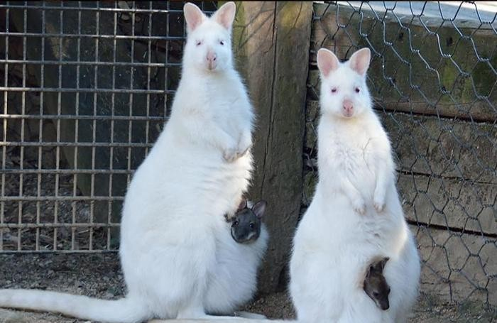 I due cangurini con le loro mamme