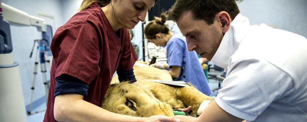 Leone malato operato da un robot Nell'équipe un medico bergamasco