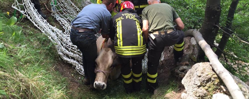 Mucca bloccata nel bosco da 2 giorni Guarda foto e video del salvataggio