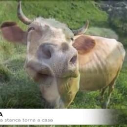 Serina: la mucca stanca torna a casa