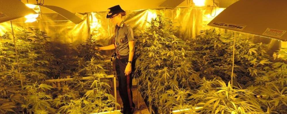Piantagione di marijuana in casa Blitz dei carabinieri, un arresto a Bolgare