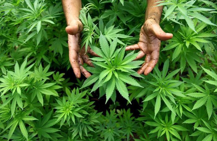 Piantine di cannabis