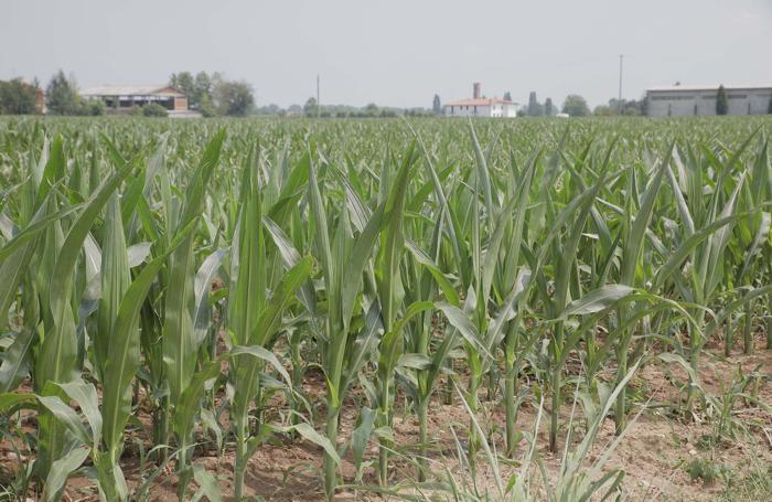 In grandissima sofferenza la coltivazione di mais