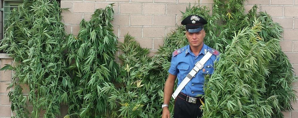 Piante alte due metri a Mapello Dall'elicottero la scoperta: è cannabis