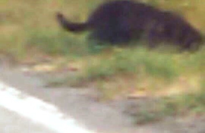 La pantera avvistata alle Torbiere