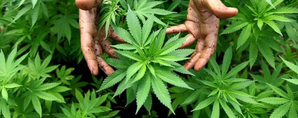 Dalla patente alla cannabis terapeutica Depenalizzazioni, ecco cosa cambia